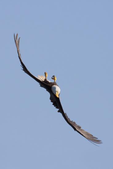 Bald Eagle in Flight, Upside Down-Ken Archer-Photographic Print