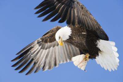 Bald Eagle in Flight with Talons Holding Fish Near Eagle River, Alaska-Design Pics Inc-Photographic Print
