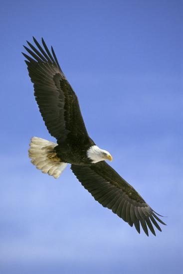 Bald Eagle in Flight--Photographic Print