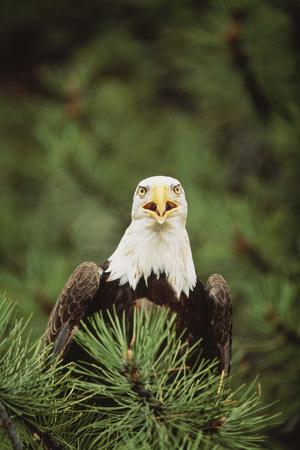 https://imgc.artprintimages.com/img/print/bald-eagle-in-tree_u-l-pzrfts0.jpg?p=0