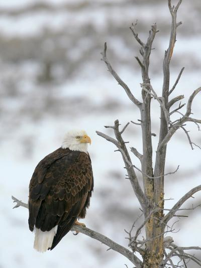 Bald Eagle Is Perched and Overlooking it's Surroundings in Winter-Drew Rush-Photographic Print
