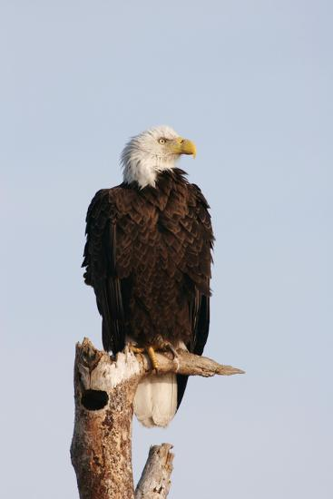 Bald Eagle on Dead Tree--Photographic Print