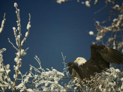 Bald Eagle on Snow-Covered Tree-Steve Raymer-Photographic Print