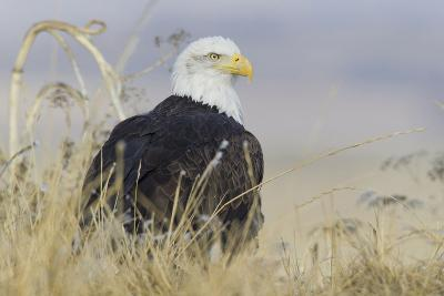 Bald Eagle on the Ground-Ken Archer-Photographic Print