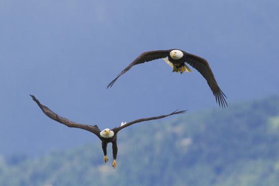 Bald Eagle Pair, Courtship-Ken Archer-Photographic Print