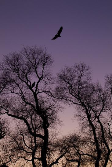 Bald Eagle Pair Silhouette in Oak Trees-Ken Archer-Photographic Print