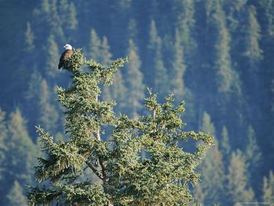 Bald Eagle Perched Atop a Tree in Seward, Alaska-Rich Reid-Photographic Print