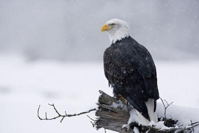 Bald Eagle Perched on Log During Snow Storm Chilkat River Near Haines Alaska Southeast Winter-Design Pics Inc-Photographic Print