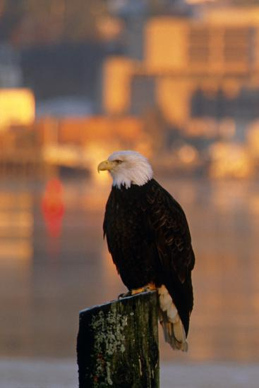 Bald Eagle Perched on Piling across from Downtown Juneau in Evening, Se Alaska-Design Pics Inc-Photographic Print