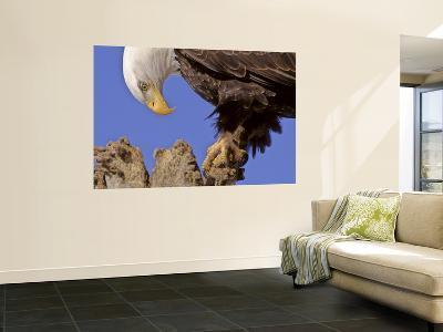 Bald Eagle Perched on Tree Branch, Alaska, USA-Joe & Mary Ann McDonald-Wall Mural