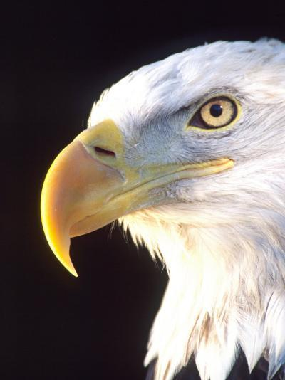 Bald Eagle Portrait, Native to USA and Canada-David Northcott-Photographic Print