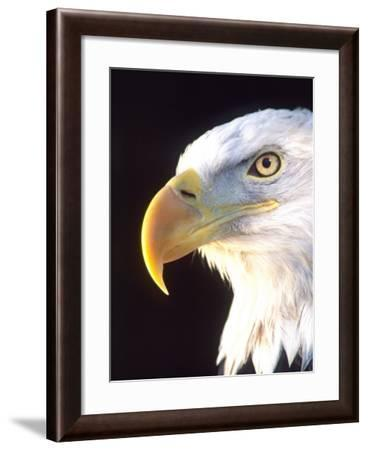 Bald Eagle Portrait, Native to USA and Canada-David Northcott-Framed Photographic Print