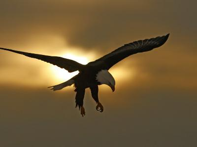 Bald Eagle Preparing to Land Silhouetted by Sun and Clouds, Homer, Alaska, USA-Arthur Morris-Photographic Print