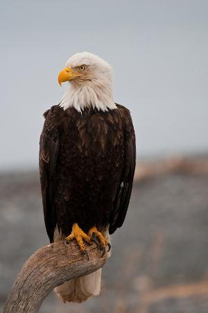 bald-eagle-resting-on-a-perch