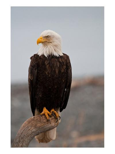 Bald Eagle Resting On A Perch--Art Print