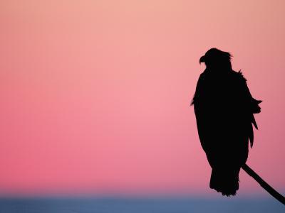 Bald Eagle Resting on Limb, Homer, Alaska, USA-Arthur Morris-Photographic Print