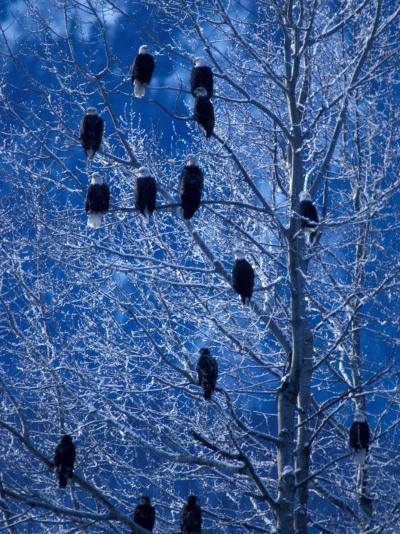 Bald Eagle Roosting in Cottonwoods, Chilkat River, Alaska, USA-Art Wolfe-Photographic Print
