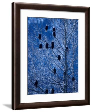 Bald Eagle Roosting in Cottonwoods, Chilkat River, Alaska, USA-Art Wolfe-Framed Photographic Print