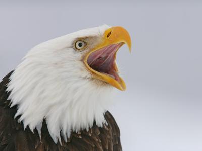 Bald Eagle Screaming, Homer, Alaska, USA-Arthur Morris-Photographic Print