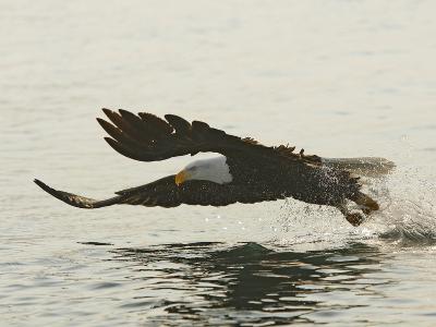 Bald Eagle Seeking to Catch a Fish, Homer, Alaska, USA-Arthur Morris-Photographic Print