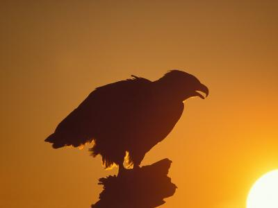 Bald Eagle Silhouette at Sunset, Kachemak Bay, Alaska, USA-Steve Kazlowski-Photographic Print