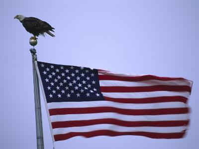 Bald Eagle Sits on a Flagpole Above a Fluttering American Flag-Michael Melford-Photographic Print