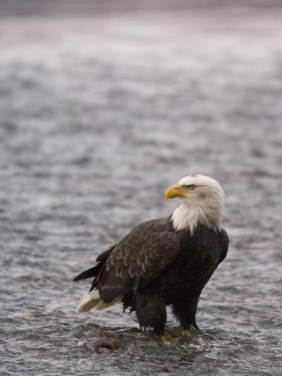 Bald Eagle Stands in Chilkat River, Alaska-Michael S^ Quinton-Photographic Print