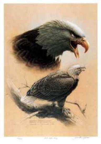 Bald Eagle Study-Michael Dumas-Collectable Print