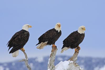 Bald Eagle Three--Photographic Print
