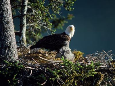 Bald Eagle with Chicks at Nest-Jeff Foott-Photographic Print