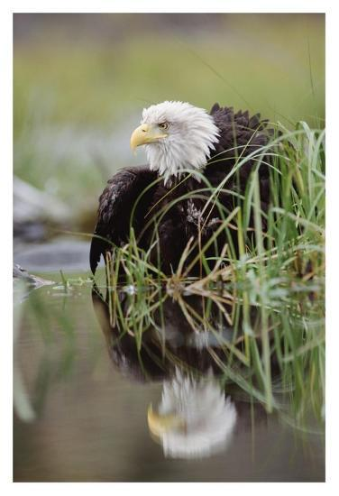 Bald Eagle with reflection at the edge of a lake, North America-Tim Fitzharris-Art Print