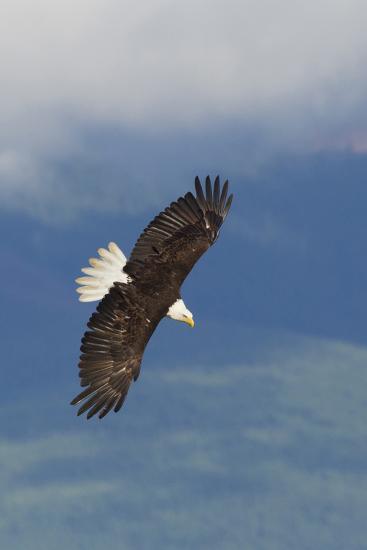 Bald Eagle-Ken Archer-Photographic Print