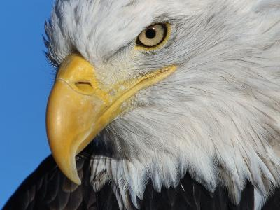 Bald Eagle-W^ Perry Conway-Photographic Print