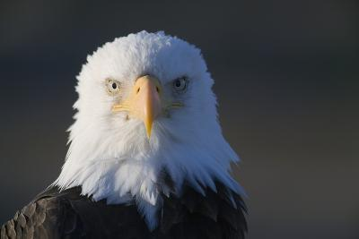 Bald Eagle-Paul Souders-Photographic Print