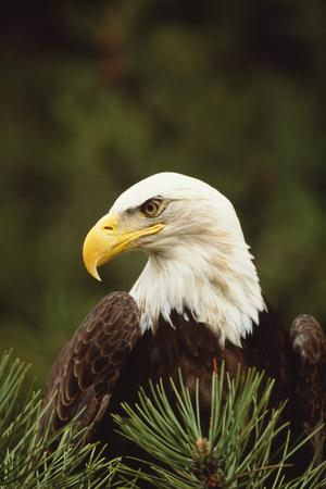 https://imgc.artprintimages.com/img/print/bald-eagle_u-l-pzrl540.jpg?p=0