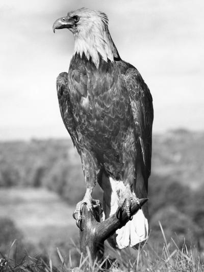 Bald Eagle-George Marks-Photographic Print