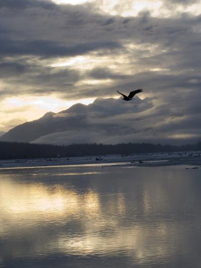 Bald Eagles Flies over the Chilkat Bald Eagle Preserve, Alaska-Michael S^ Quinton-Photographic Print