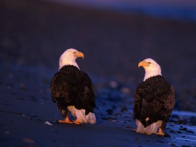 Bald Eagles, Haliaeetus Leucocephalus, AK-D^ Robert Franz-Photographic Print