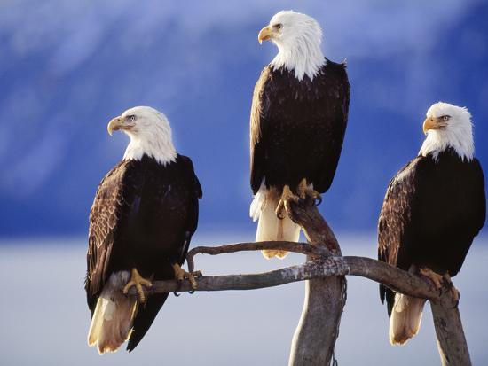 Bald Eagles, Haliaeetus Leucocephalus, Southeast Alaska-Frans Lanting-Photographic Print