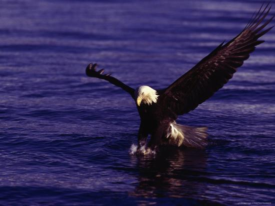 Bald Eagles, Haliaeetus Leucocephalus-D^ Robert Franz-Photographic Print