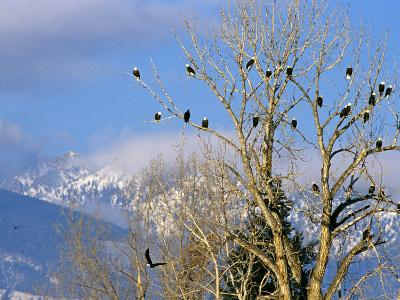 Bald Eagles in the Bitterroot Valley near Hamilton, Montana, USA-Chuck Haney-Photographic Print