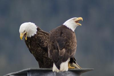 Bald Eagles Perched On a Dock Piling in Juneau Harbor, Calling-Rich Reid-Photographic Print