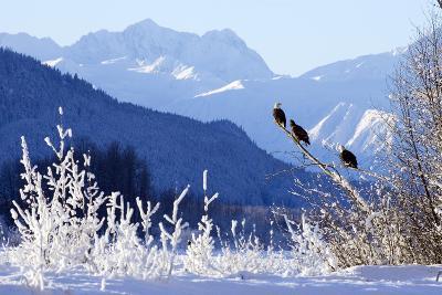Bald Eagles Perched-Design Pics Inc-Photographic Print