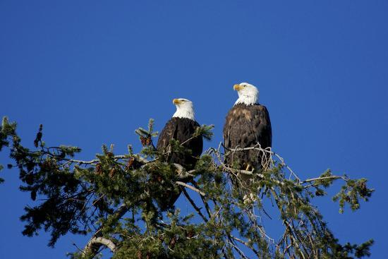 Bald Eagles Roosting in a Fir Tree in British Columbia-Richard Wright-Photographic Print