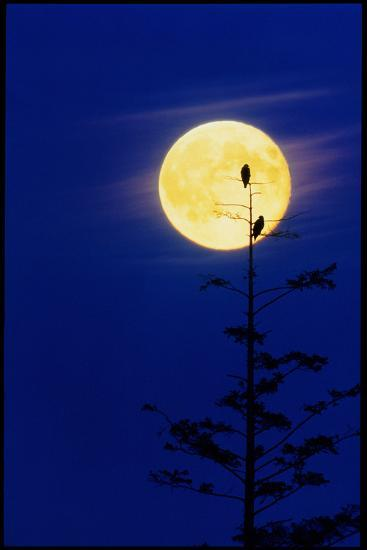 Bald Eagles Silhouetted Against a Full Moon-David Nunuk-Photographic Print