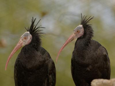 Bald Ibis or Waldrapp (Geronticus Eremita) an Endangered Species, Captive-Dave Watts-Photographic Print