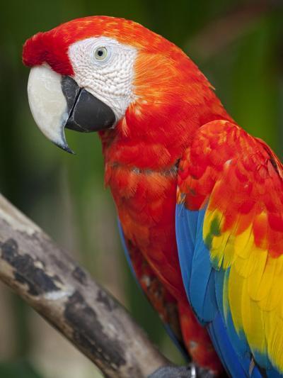 Bali, Ubud, a Greenwing Macaw Poses at Bali Bird Park-Niels Van Gijn-Photographic Print