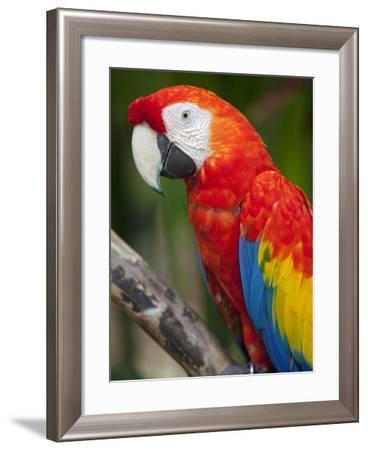 Bali, Ubud, a Greenwing Macaw Poses at Bali Bird Park-Niels Van Gijn-Framed Photographic Print