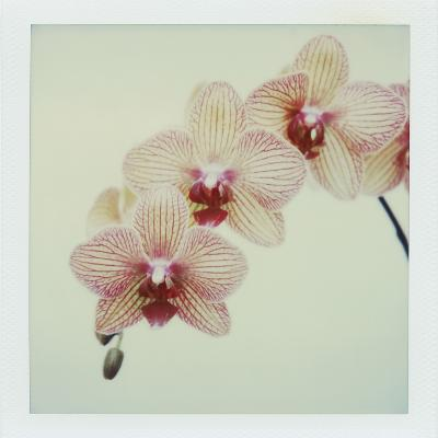 Balkan Kaleidoscope Orchid-John Kuss-Photographic Print