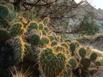 Ball Cactus or Pincushion Cactus in the Northern Region of Theodore Roosevelt National Park-Rob Blakers-Photographic Print